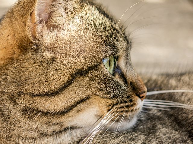 Des conseils pour donner un médicament à un chat
